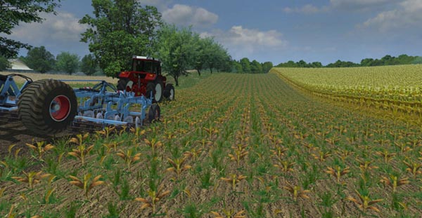 Maize in rows